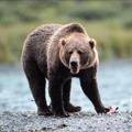 Allein unter Grizzlybären